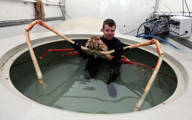 Japanese Spider Crab / Sea Life Centre