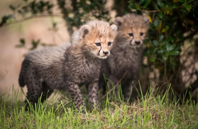 Cheetah Cub Duo / Chester Zoo