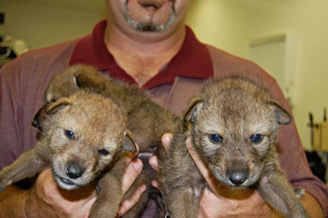 Red Wolf Pups / Jackson Zoo