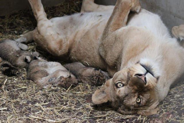 Asiatic Lion Cubs / Emmen Zoo