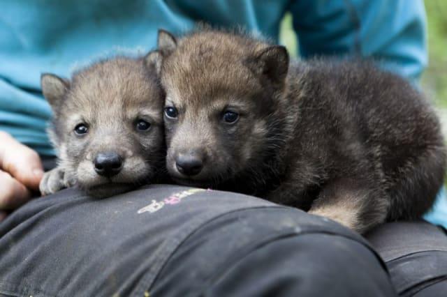 Grey Wolf Pups / Dyreparken