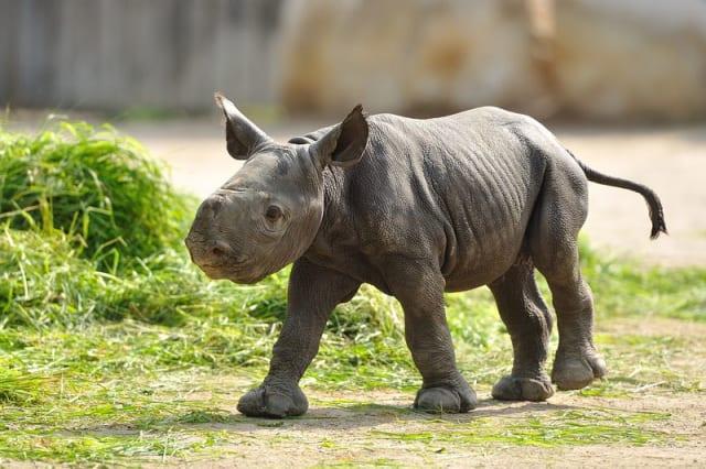 Black Rhino / Zoo Krefeld