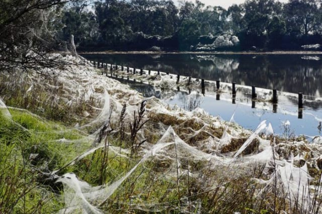 Veil of spider webs cover Gippsland after heavy rain