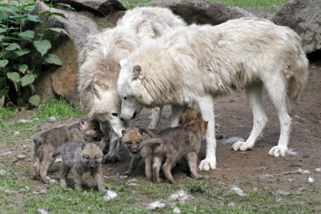 White Canadian Wolf Pups / Berlin Zoo