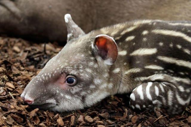 Alexandro, South American Tapir / Artis Zoo