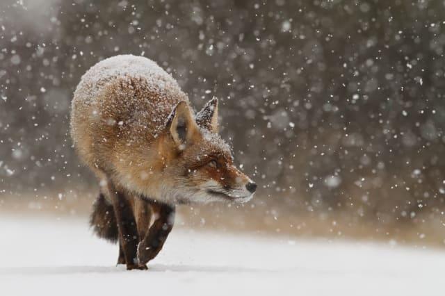 Fox's First Snow / Roeselien Raimond