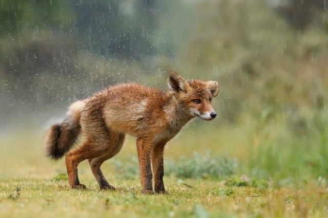 Wet Fox / Roeselien Raimond
