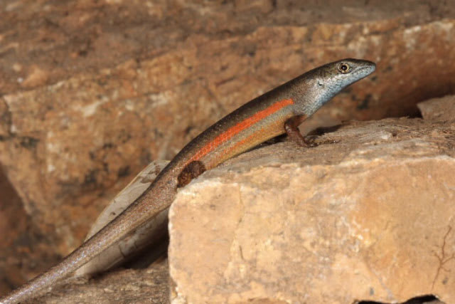 Two New Rainbow Lizards Found in Australia