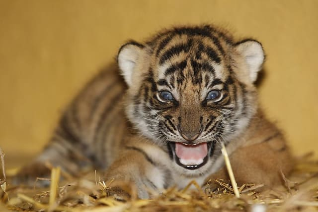 Malayan Tiger / Zoo Halle
