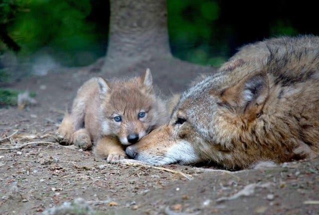 Mongolian wolf pup / Zoo Zurich