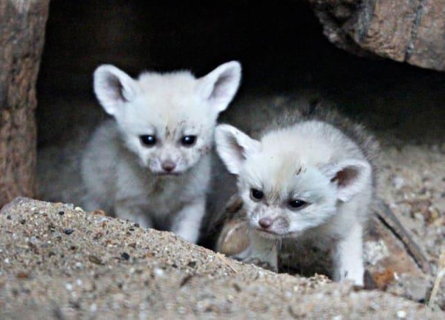 Fennec Fox Kits / Artis Zoo