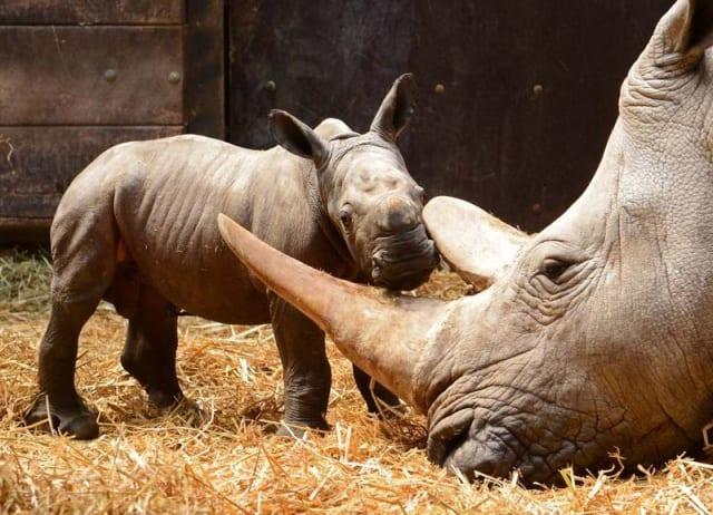 Southern White Rhinoceros / Allwetter Zoo