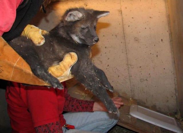 Maned Wolf Puppies / Pueblo Zoo