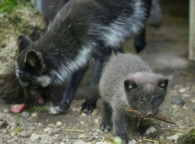 Arctic Fox Cubs / Hellabrunn Zoo