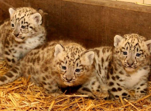 Three Snow Leopard Cubs / Zoo Salzburg