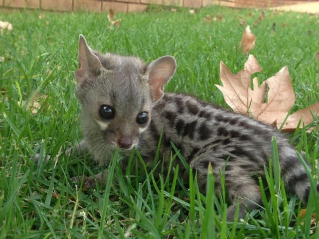 Nora, Large-spotted Genet / National Zoological Gardens of South Africa