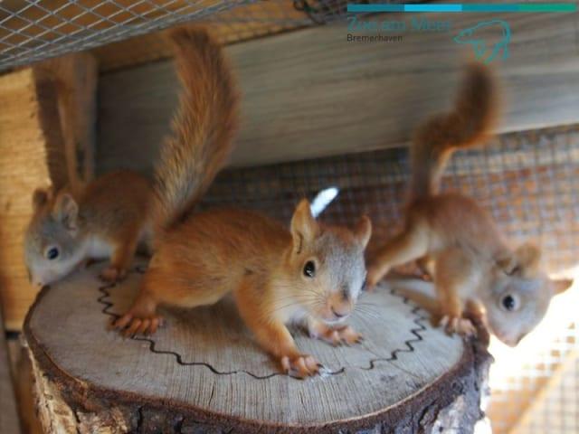 Five Baby Red Squirrels / Zoo am Meer Bremerhaven