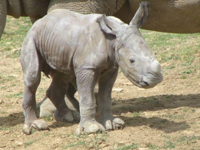 White Rhino Calf / Cotswold Wildlife Park