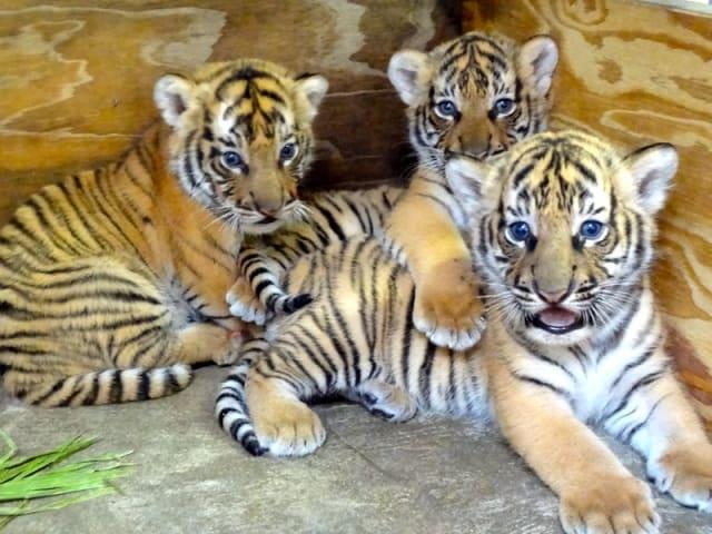 Malayan Tiger Cubs / Busch Gardens Tampa