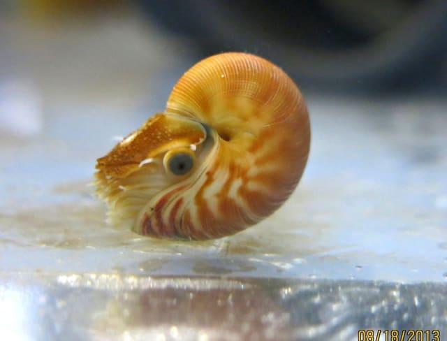 Nautilus / Birch Aquarium