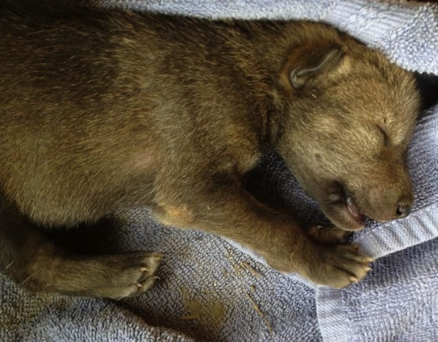 Red Wolf Pup / Red Wolf Recovery Program