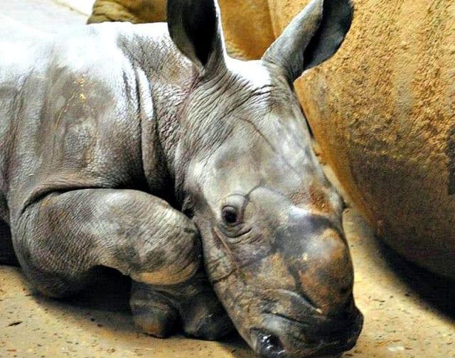 Emily, White Rhino Calf / Colchester Zoo