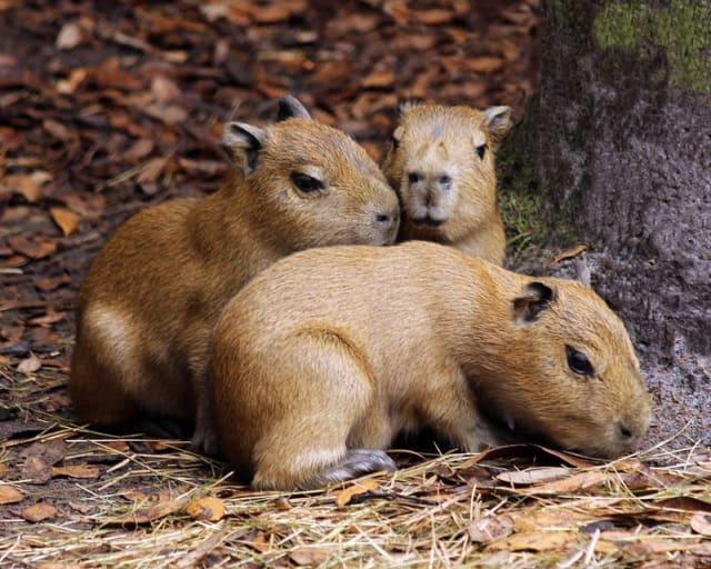 Capybara / Brevard Zoo