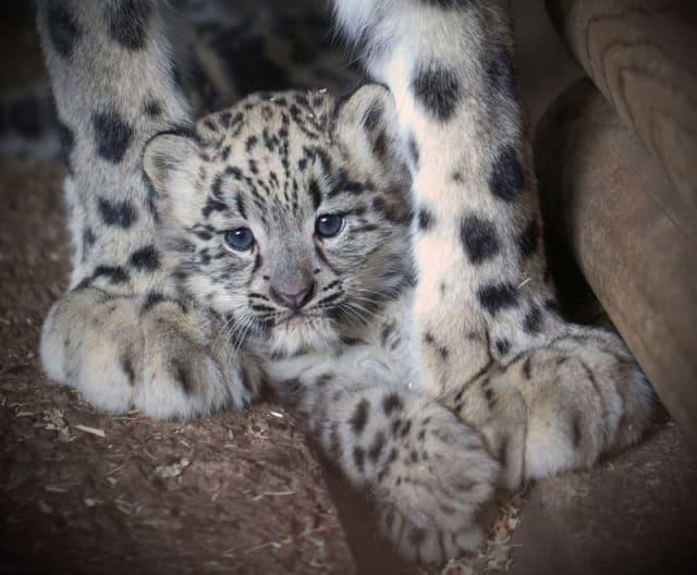 Snow Leopard Cub / Dudley Zoological Gardens