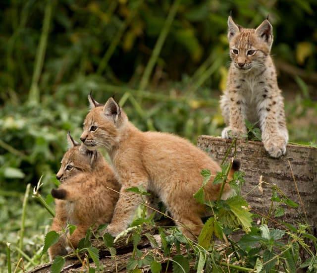 Ruby, Amber + Opal, Lynx Kittens / ZSL Whipsnade Zoo