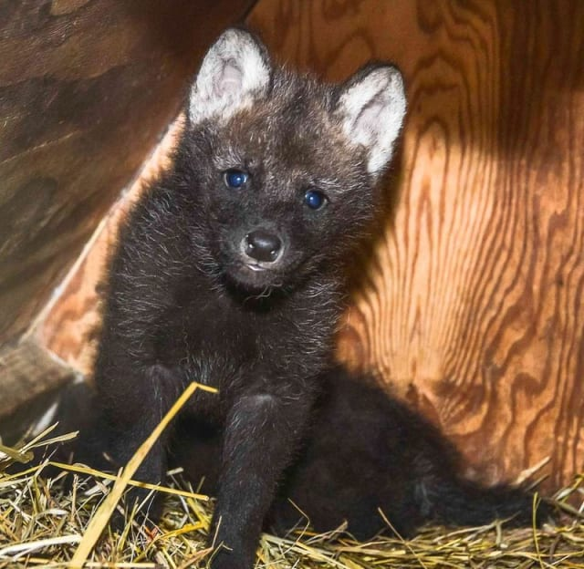 Bold + Shy, Maned Wolf Pups / Smithsonian Conservation Biology Institute