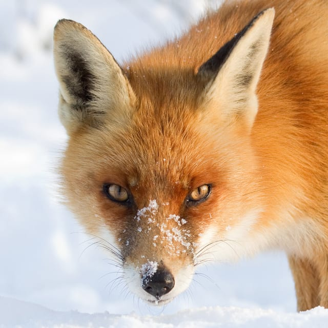 A Fox Fantasy / Roeselien Raimond