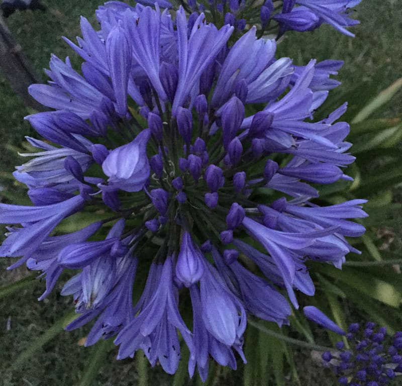Dramatic Agapanthus / Red Wolf