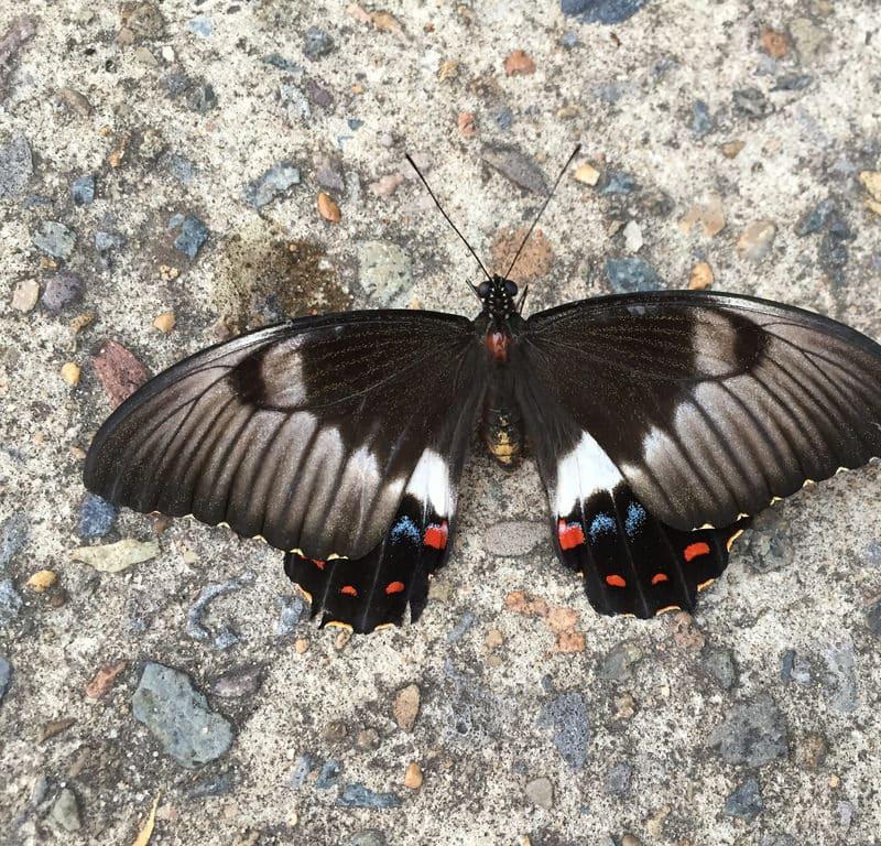 Tibouchina + Butterfly / Red Wolf