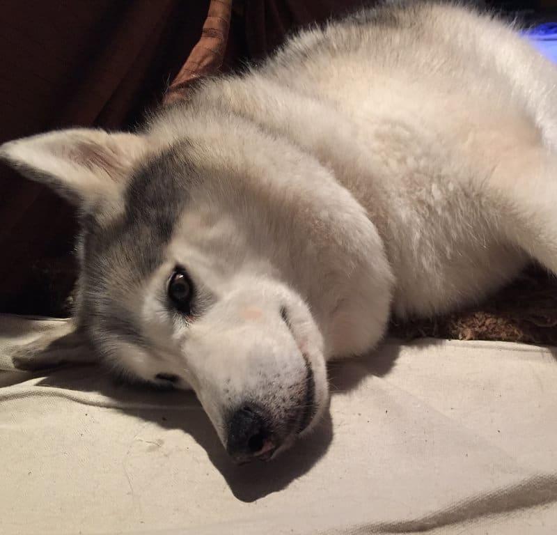 Rug Dog + Folded Ear / Red Wolf