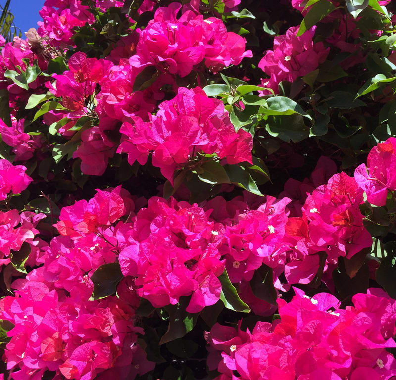 Pink Bougainvillea / Red Wolf