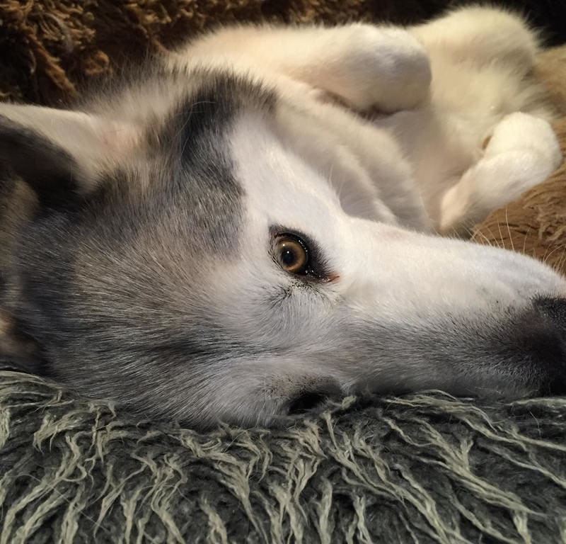 Comfortably Cushioned + Fuzzy / Red Wolf