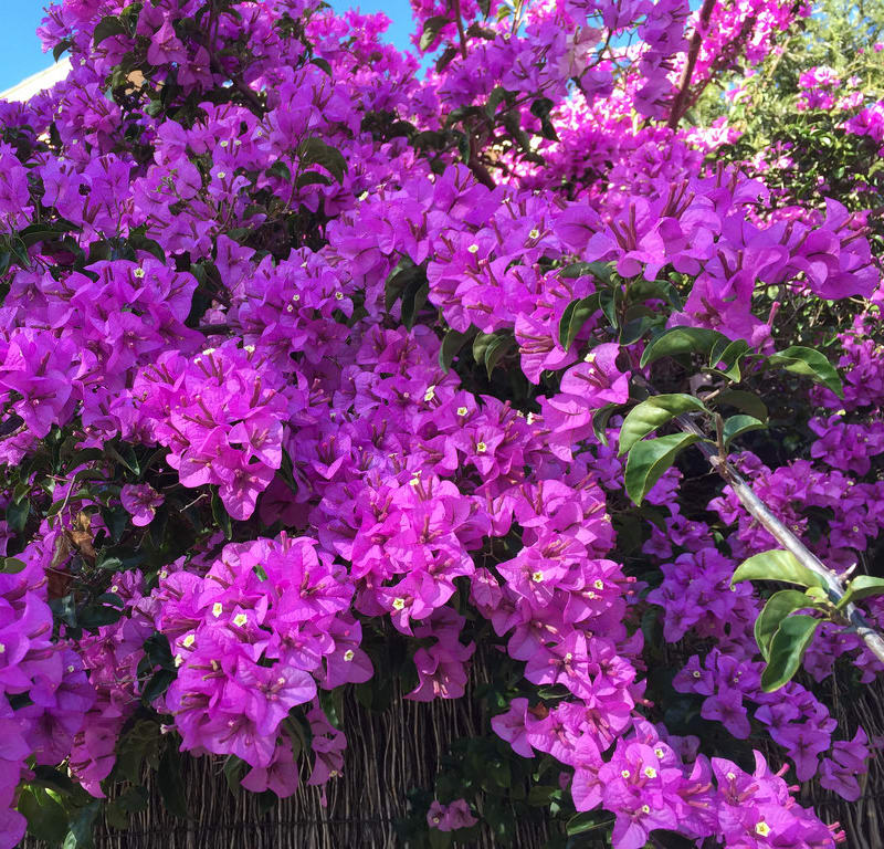 Purple Bougainvillea + Spectacular Rustgill + Coral Berry / Red Wolf