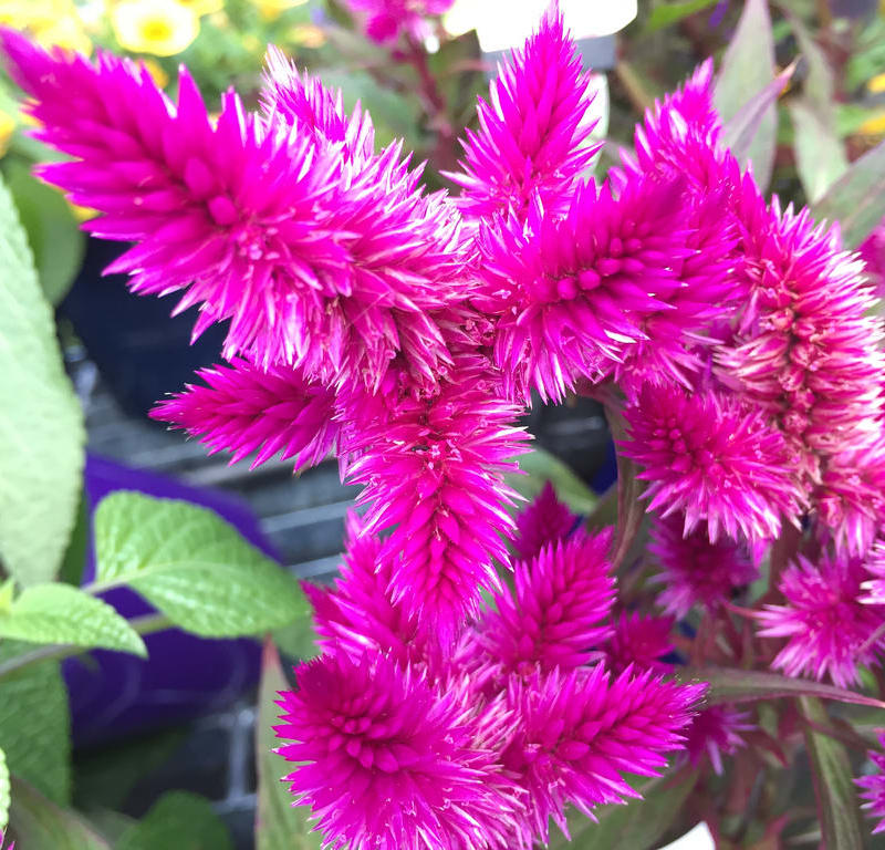 Pink Hibiscus + Celosia Intenz / Red Wolf