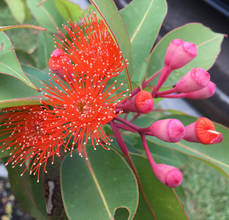 Orange flowering gum (Corymbia ficifolia) / Red Wolf