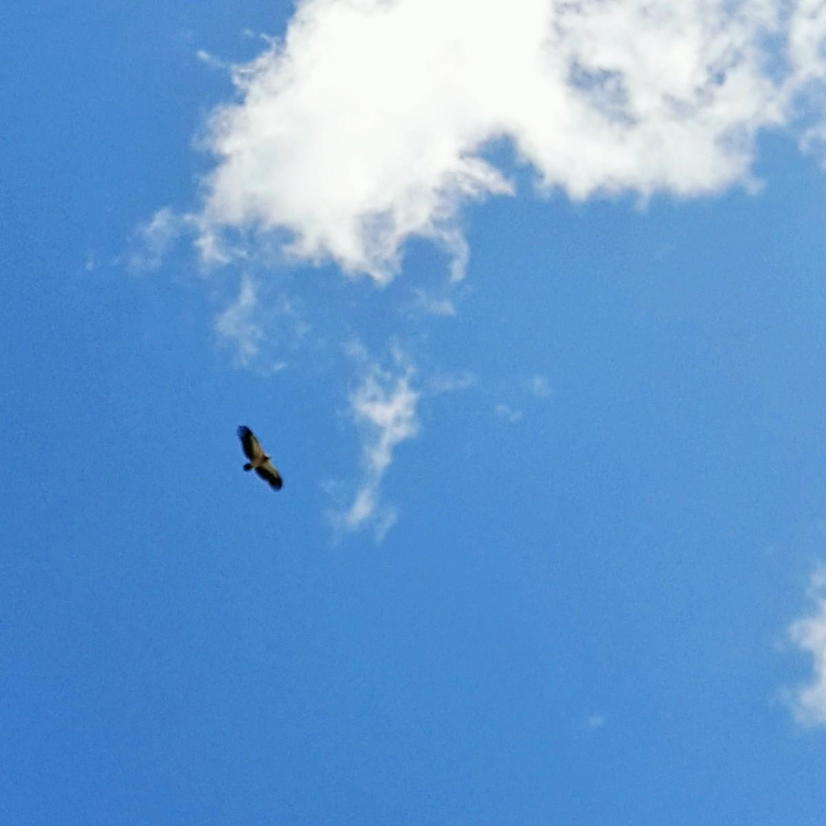 天山上空的鹰