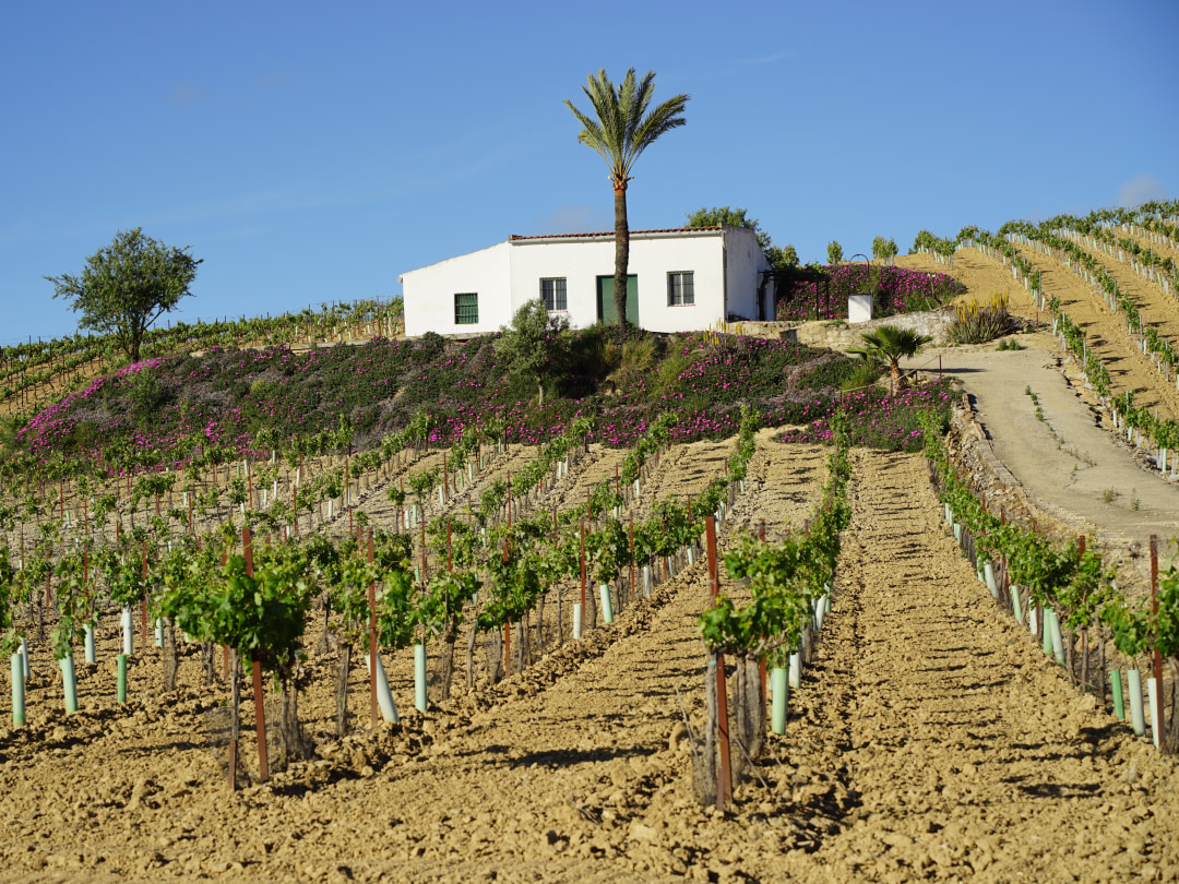 Vineyards of Jerez