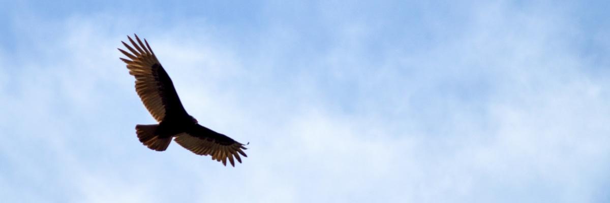 The majestic condor of the Andes