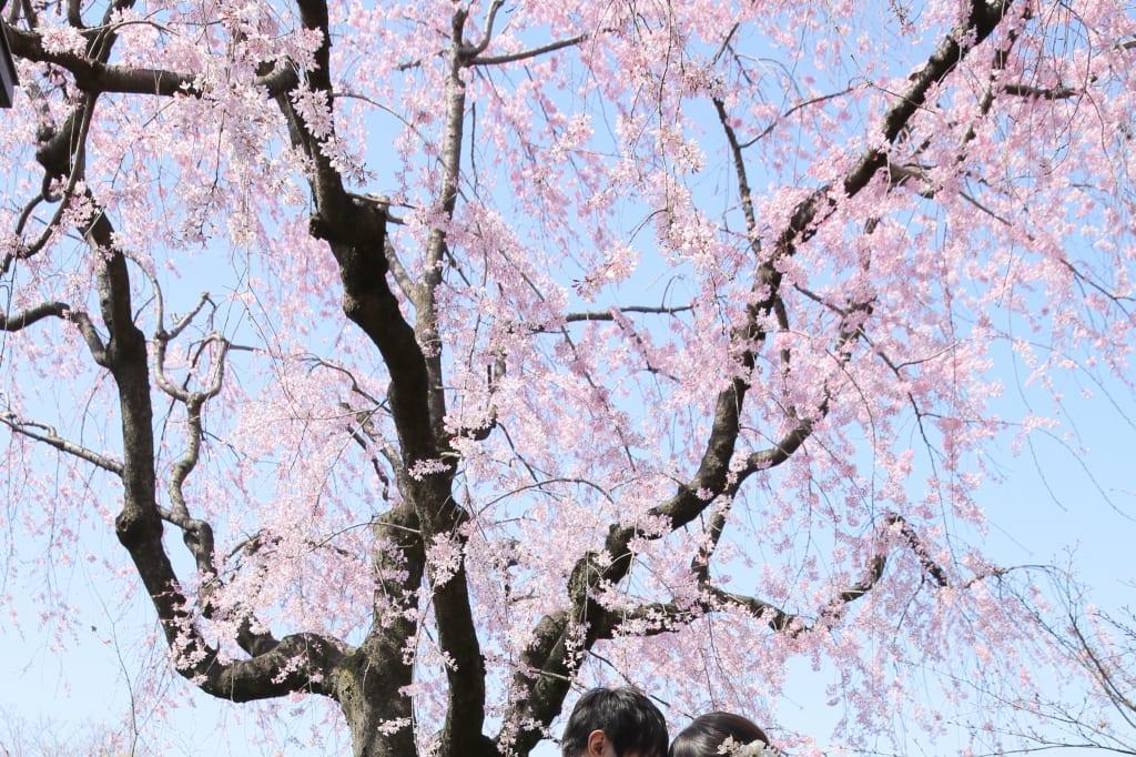 目白庭園でしだれ桜と。