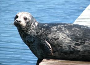 Seal on the dock Sooke Harbour Resort & Marina.