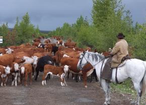 Cattle at Big Creek Lodge.