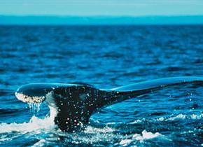 Whale tail at Fairmont Le Manoir Richelieu.