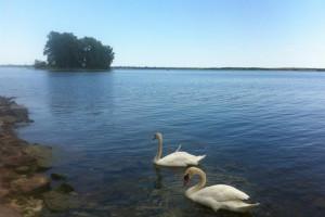 Two swans on lake at Cherry Beach Resort.