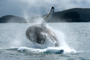 Humpback whale at Elfin Cove Resort.