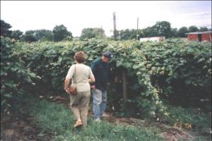 Vineyard at Vineyard Bed & Breakfast.