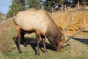 Elk at Black Canyon Inn.